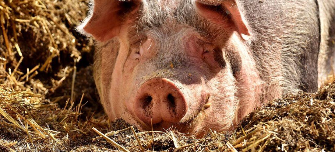 Jakich błędów unikać w żywieniu świń?