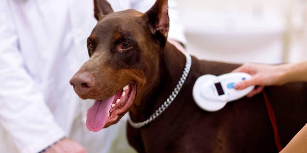 Korzyści wynikające z czipowania psów