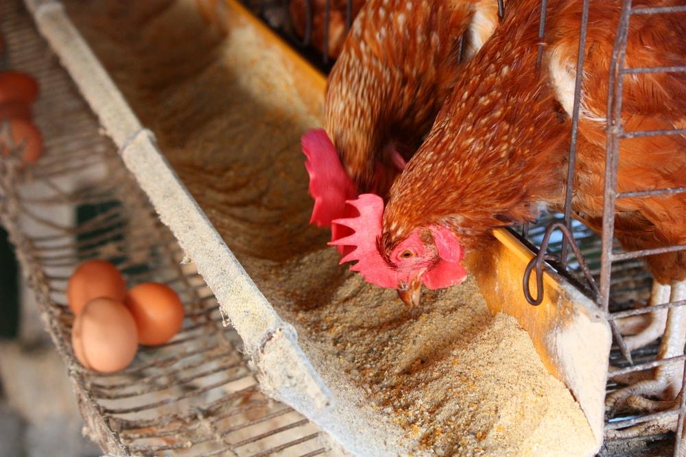 Podstawowe czynniki wpływające na nieśność kur